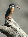 Kingfisher5.jpg