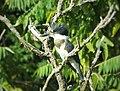 Kingfisher on patrol (28611541923).jpg