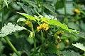 Kluse - Physalis philadelphica - Tomatillo 21 ies.jpg
