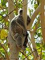 Koala bear Australien (22735783169).jpg