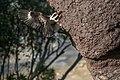 Kookaburra-making-hollow-in-arboreal-termite-nest 1.jpg