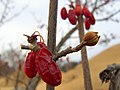Korea-Gyeongju-Trees with drying red fruit-01.jpg