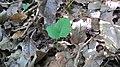 Korina 2013-07-23 Mahonia aquifolium 1.jpg