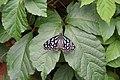 Kunming City Zoo Butterfly (9964734556).jpg