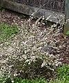 Kunzea tenuicaulis in Auckland Botanic Gardens 03.jpg