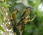 Laced woodpecker pair.jpg