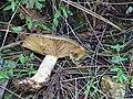 Lactarius californiensis Hesler & A.H. Sm 705080.jpg
