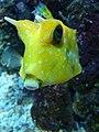 Lactoria cornuta.007 - Aquarium Finisterrae.JPG