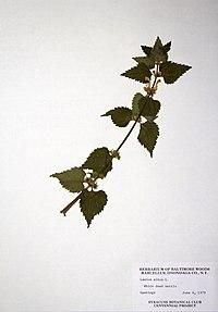 Lamium album ssp. album BW-1979-0604-0354.jpg