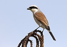 Lanius collurio - Red-backed shrike 09.jpg