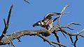 Lanner falcon, Falco biarmicus, at Kgalagadi Transfrontier Park, Northern Cape, South Africa (34447025121).jpg
