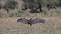 Lappet-faced Vulture (Torgos tracheliotos) (45647847905).jpg