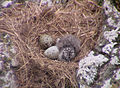Larus dominicanus -Palmerston -eggs and chick-8.jpg