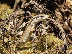 Latastia longicaudata (Wroclaw zoo)-1.JPG