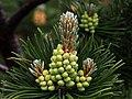 Latschenkiefer (Pinus mugo), männlicher Blütenstand.jpg