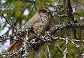 Lavskrika Siberian Jay (20341996462).jpg