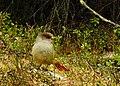 Lavskrika Siberian Jay (20356580231).jpg