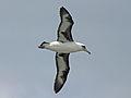 Laysan Albatross RWD4a.jpg