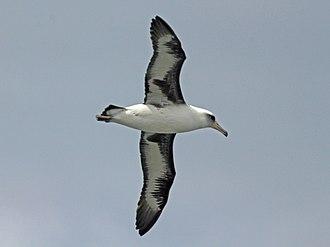 Laysan albatross - Image: Laysan Albatross RWD4a