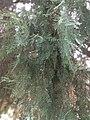 Leaf of Cupressus dupreziana 03.jpg