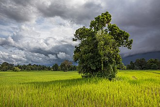 Paddy field - Paddy fields in Laos