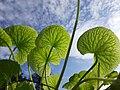 Leaves of Centella Asiatica against the sky.jpg