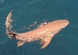 Lemon Shark off the Coast of Naples, Florida, May 1987.jpg