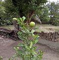 Lemon Upright.jpg