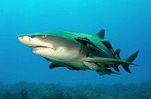 lemon shark | Nature's Notebook