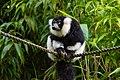 Lemur (24169321308).jpg