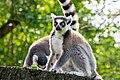 Lemur (37122890446).jpg