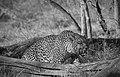 Leopard mono wild (6177193117).jpg