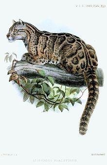 LeopardusBrachyurusWolf.jpg