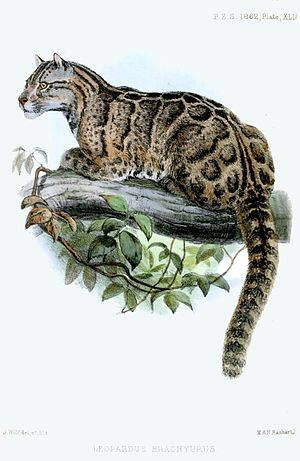 Neofelis - Formosan clouded leopard painted by Joseph Wolf in 1862.