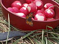 Lepidoptera - Ugra National Park.jpg