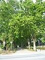 Les Malloles - plàtans des de l'avinguda del Mar P1480627.jpg
