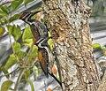Lesser Flameback woodpecker(Dinopium benghalense)നാട്ടു മരംകൊത്തി .jpg