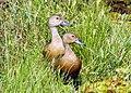 Lesser Whistle Ducks (15176470956).jpg