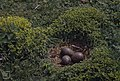 Lesser black-back gull's eggs among stonecrop. (Z Chap. 20) (37890799626).jpg