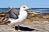 Lesser black-backed gull Morocco.jpg