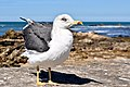 Lesser black-backed gull Morocco.jpg