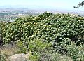 Leucospermum conocarpodendron - Table Mountain 8.JPG