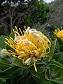Leucospermum conocarpodendron ssp. viridum Betty's Bay 03.jpg