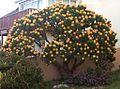 Leucospermum conocarpodendron viridum - South Africa 2.jpg