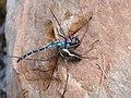 Libelle fg1.jpg