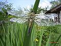 Libellula quadrimaculata Ecdysis9.jpg