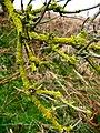 Lichen, Haydon Dean near Ancroft - geograph.org.uk - 348371.jpg