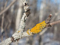 Lichen on branch in snowy forest.jpg
