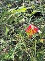 Lilium occideantle 6.jpg