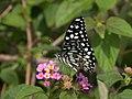 Lime butterfly IMG 7685.jpg
